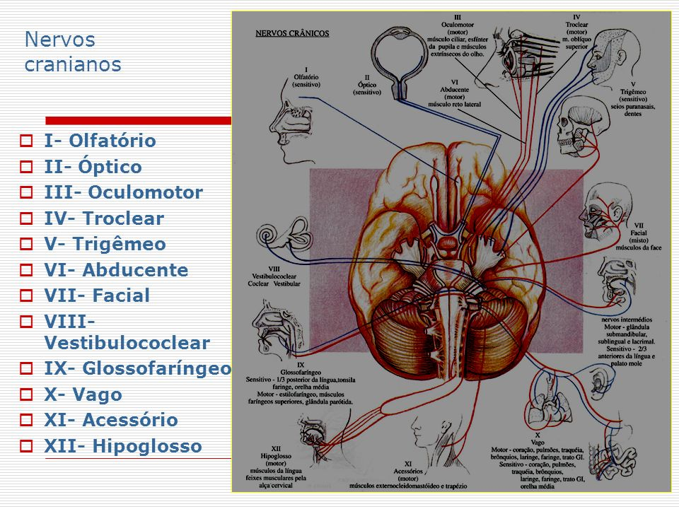 Nervos cranianos I- Olfatório II- Óptico III- Oculomotor IV- Troclear