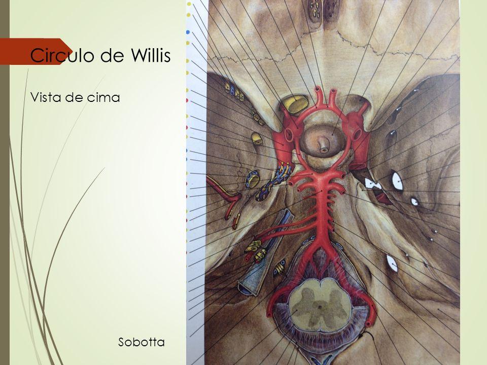 Circulo de Willis Vista de cima Sobotta