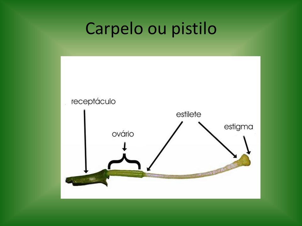 Carpelo ou pistilo