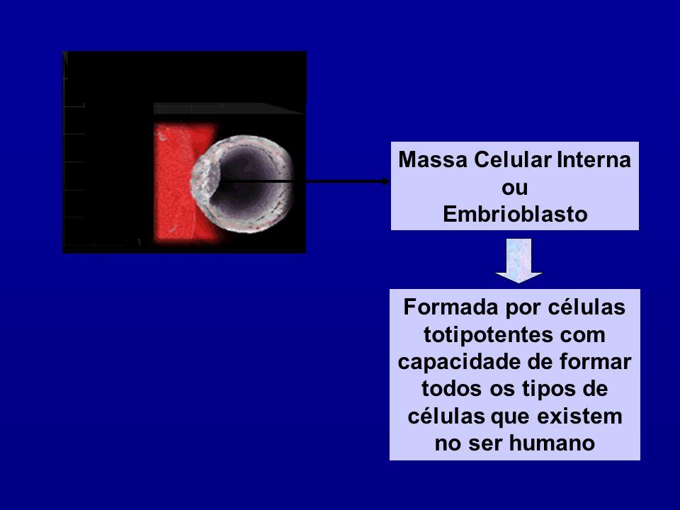 Massa Celular Interna ou. Embrioblasto. Formada por células. totipotentes com. capacidade de formar.