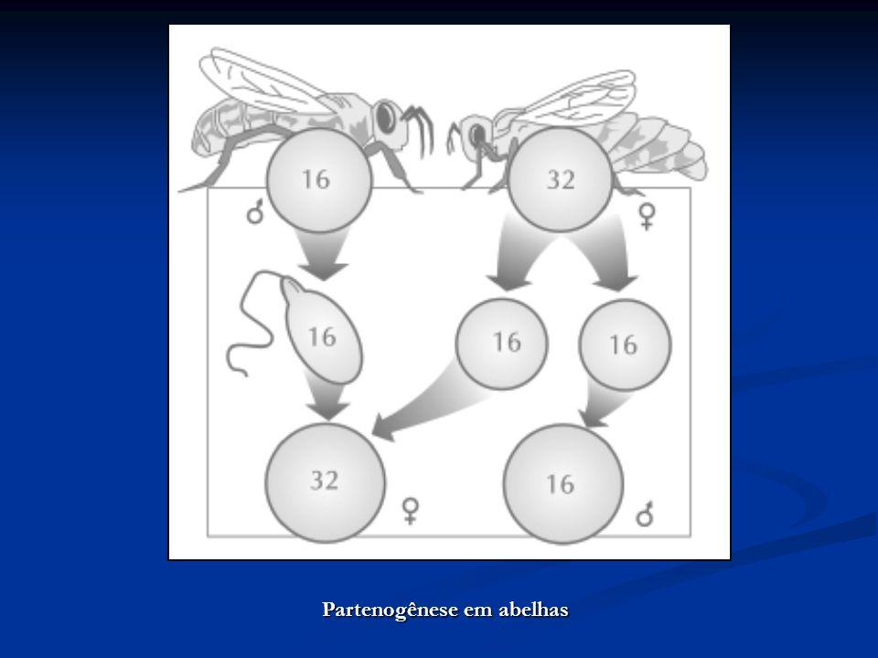 Partenogênese em abelhas
