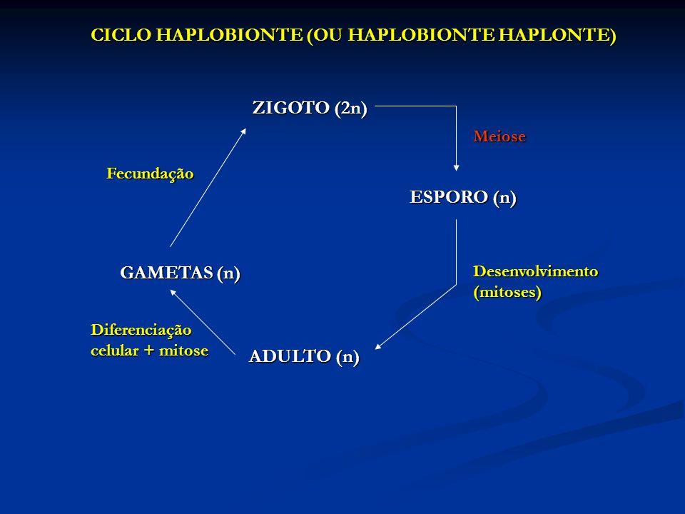 ZIGOTO (2n) ESPORO (n) ADULTO (n) GAMETAS (n)