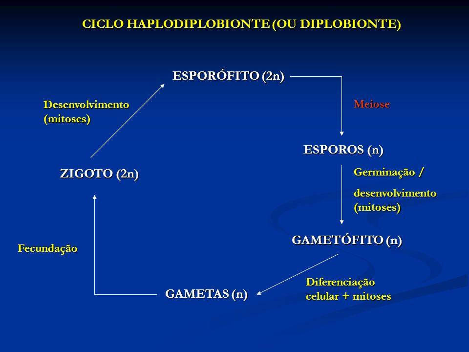 CICLO HAPLODIPLOBIONTE (OU DIPLOBIONTE)