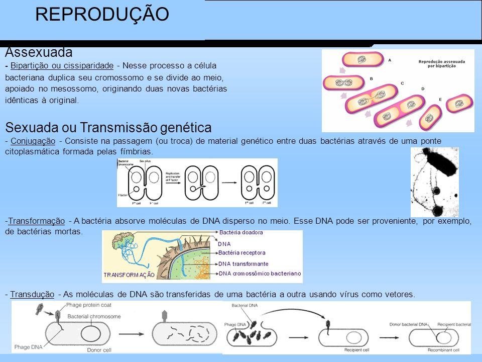 REPRODUÇÃO Assexuada - Bipartição ou cissiparidade - Nesse processo a célula. bacteriana duplica seu cromossomo e se divide ao meio,
