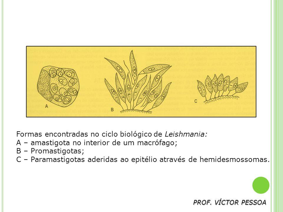 Formas encontradas no ciclo biológico de Leishmania: