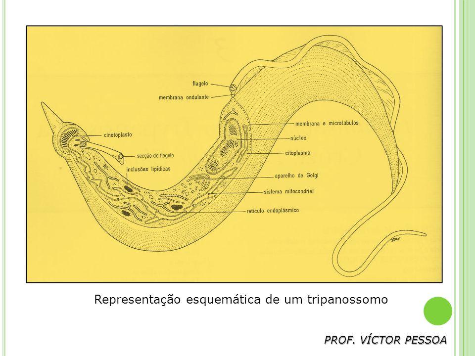 Representação esquemática de um tripanossomo
