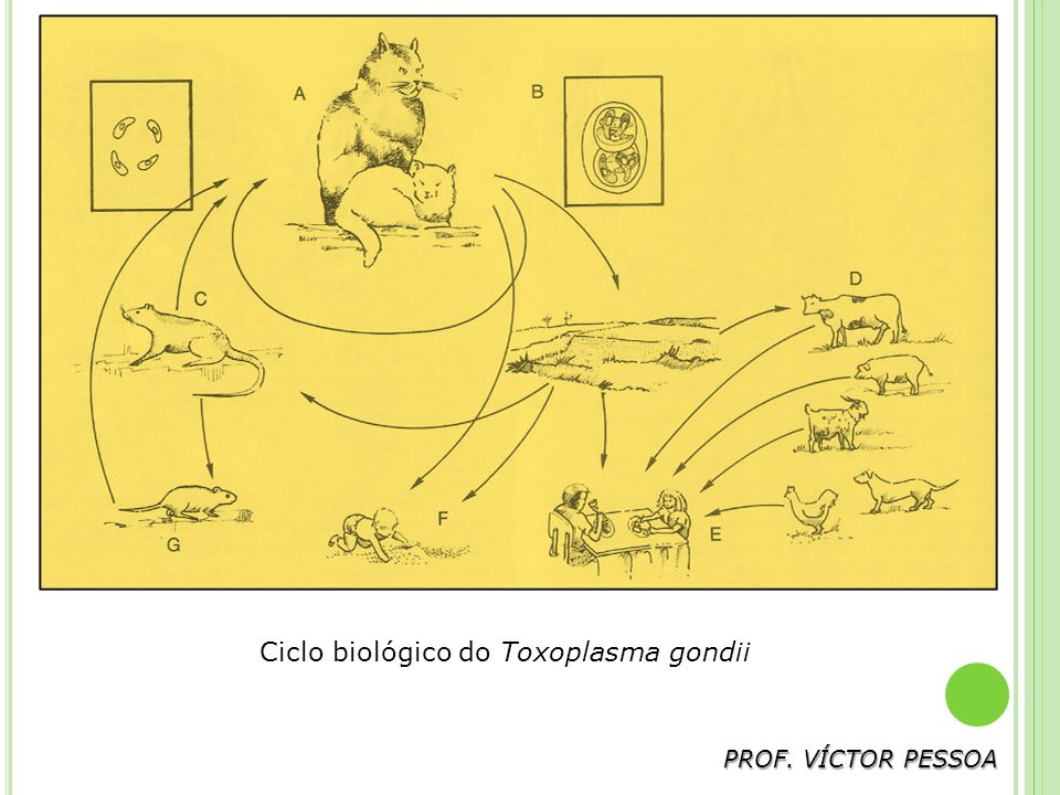 Ciclo biológico do Toxoplasma gondii