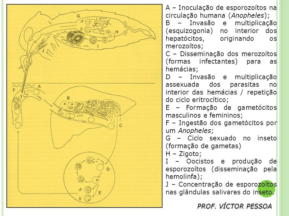 A – Inoculação de esporozoítos na circulação humana (Anopheles);