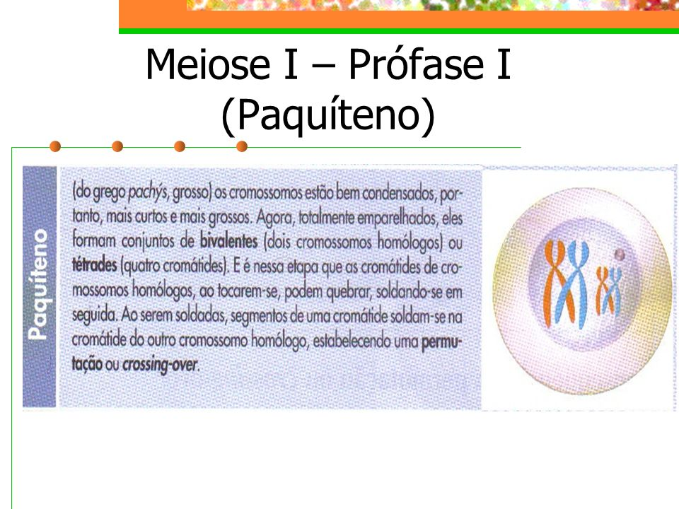 Meiose I – Prófase I (Paquíteno)