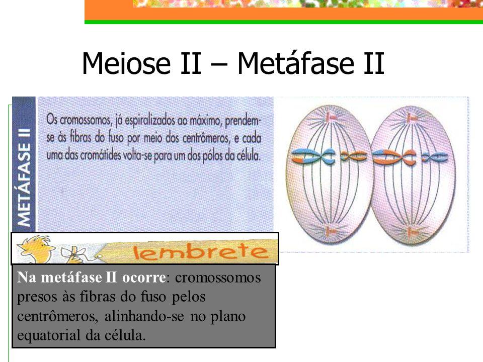 Meiose II – Metáfase II Na metáfase II ocorre: cromossomos presos às fibras do fuso pelos centrômeros, alinhando-se no plano equatorial da célula.