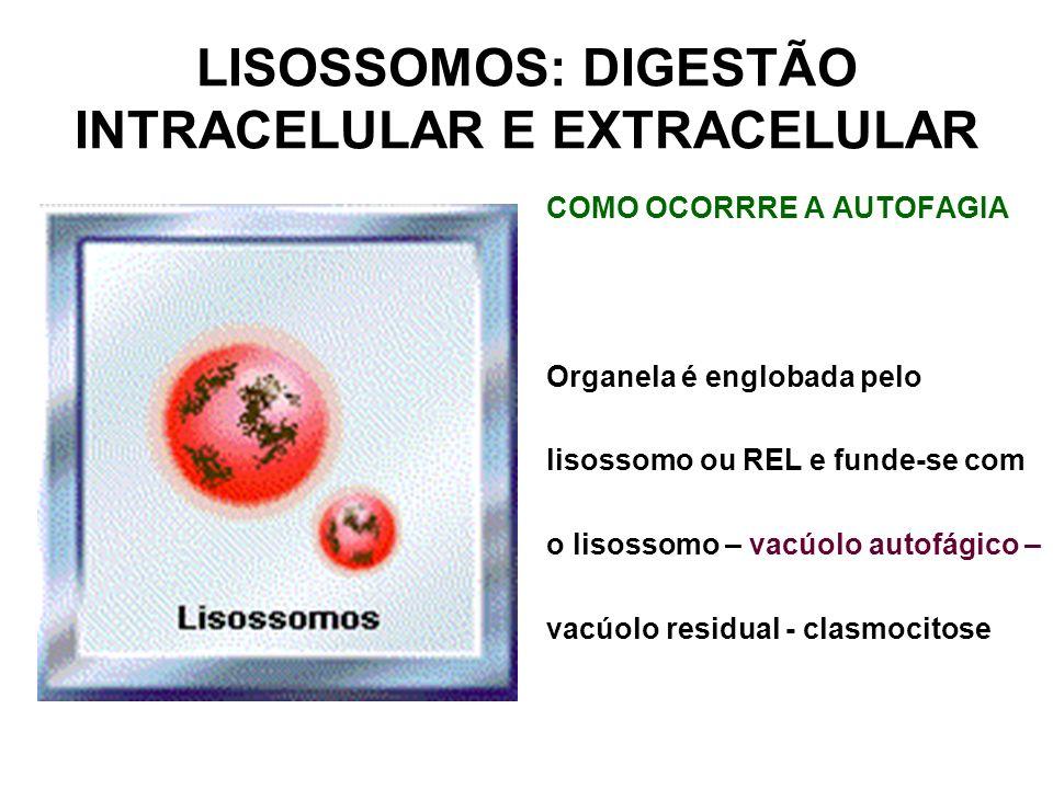 LISOSSOMOS: DIGESTÃO INTRACELULAR E EXTRACELULAR