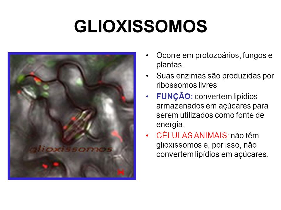 GLIOXISSOMOS Ocorre em protozoários, fungos e plantas.