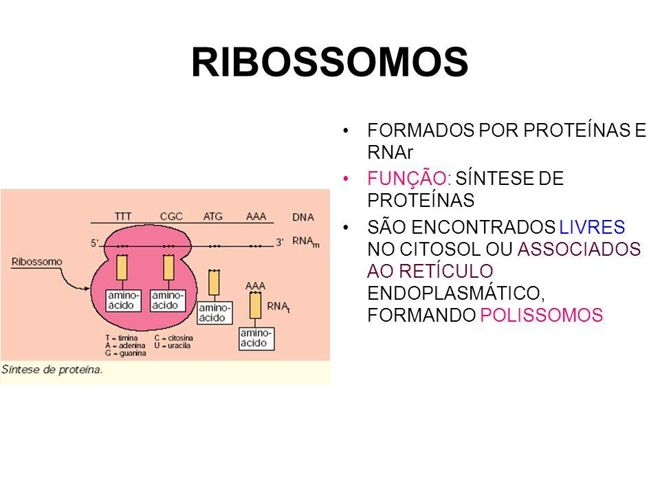 RIBOSSOMOS FORMADOS POR PROTEÍNAS E RNAr FUNÇÃO: SÍNTESE DE PROTEÍNAS