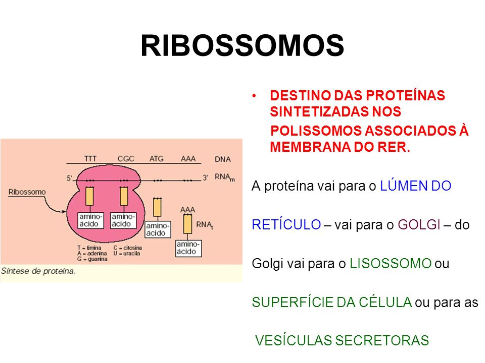 RIBOSSOMOS DESTINO DAS PROTEÍNAS SINTETIZADAS NOS