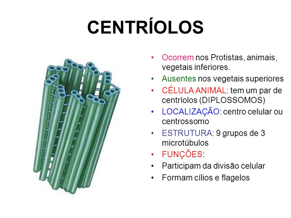 CENTRÍOLOS Ocorrem nos Protistas, animais, vegetais inferiores.