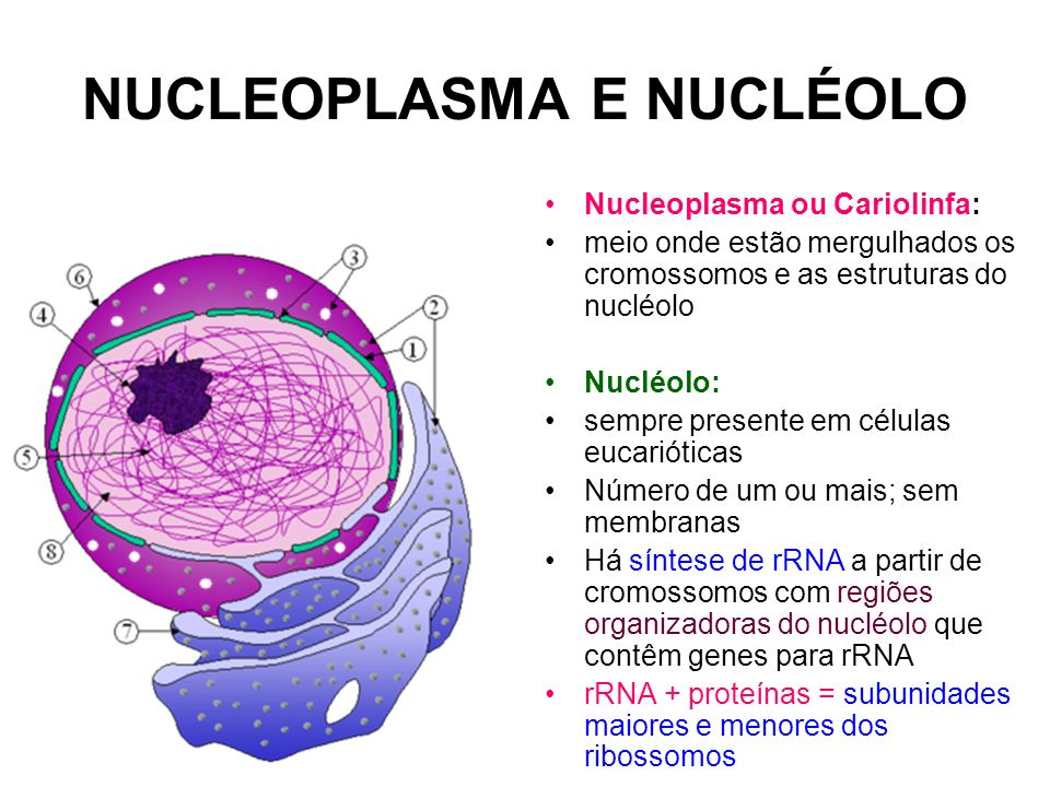 NUCLEOPLASMA E NUCLÉOLO