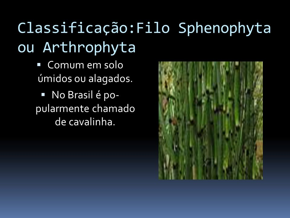 Classificação:Filo Sphenophyta ou Arthrophyta