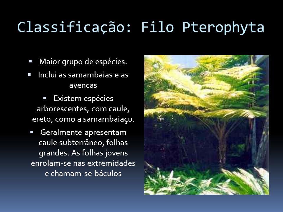 Classificação: Filo Pterophyta