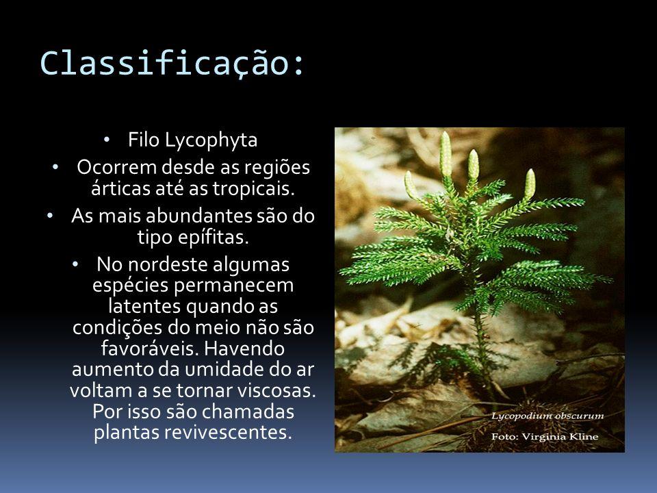 Classificação: Filo Lycophyta