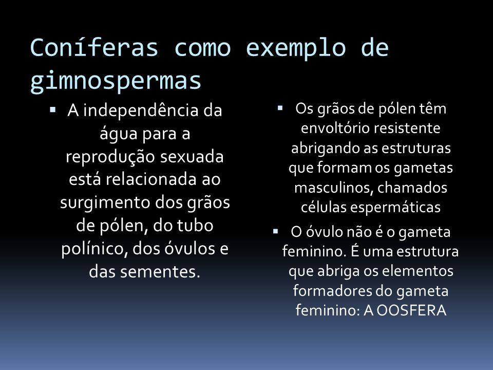 Coníferas como exemplo de gimnospermas