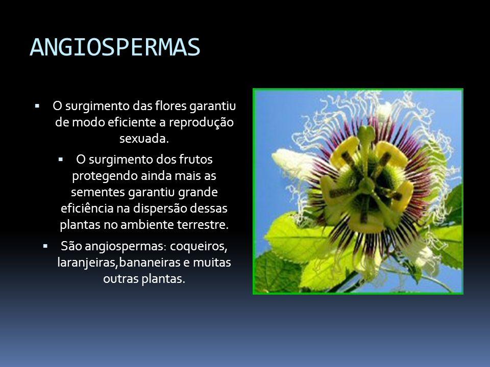 ANGIOSPERMAS O surgimento das flores garantiu de modo eficiente a reprodução sexuada.