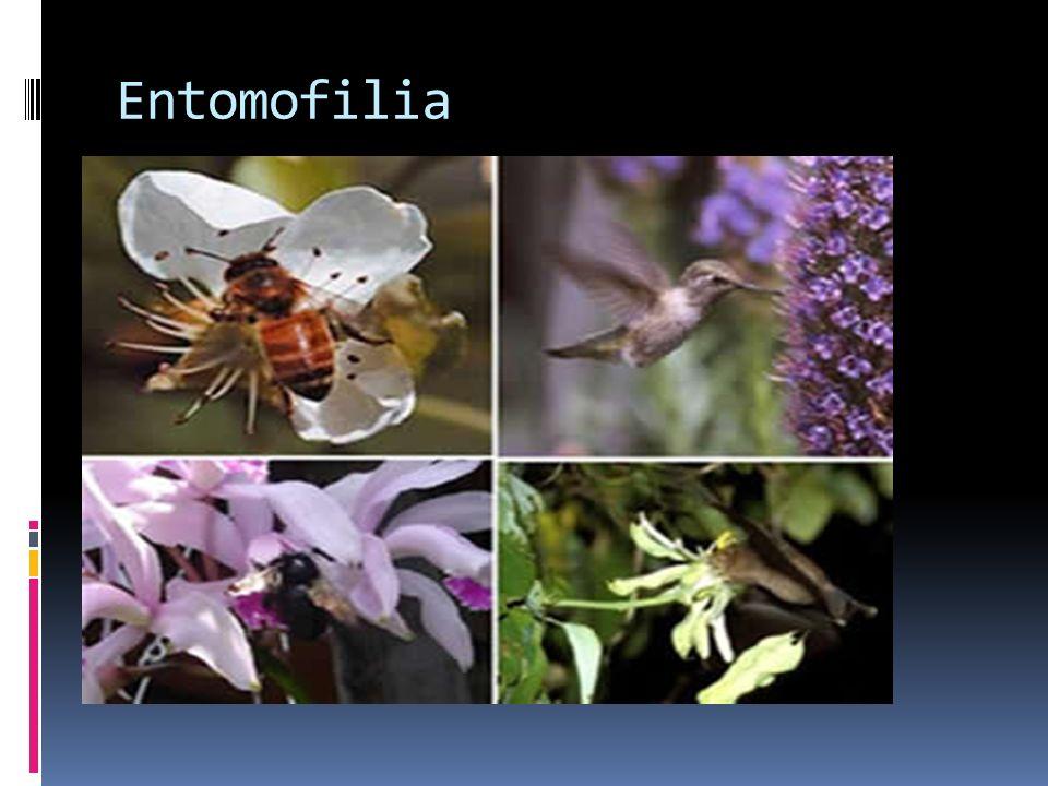 Entomofilia