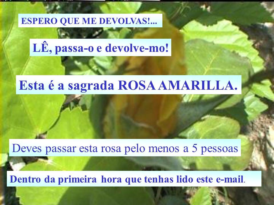Esta é a sagrada ROSA AMARILLA.