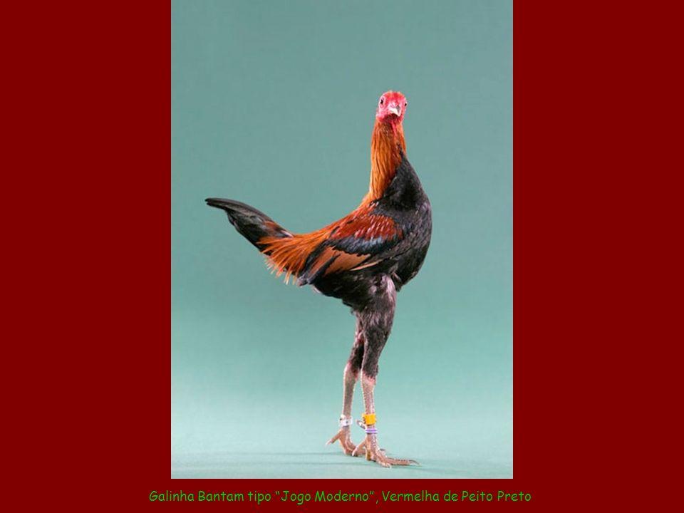 Galinha Bantam tipo Jogo Moderno , Vermelha de Peito Preto