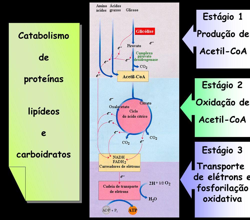 Estágio 1 Produção de. Acetil-CoA. Catabolismo. de. proteínas. lipídeos. e. carboidratos. Estágio 2.