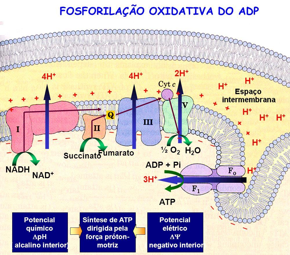 FOSFORILAÇÃO OXIDATIVA DO ADP