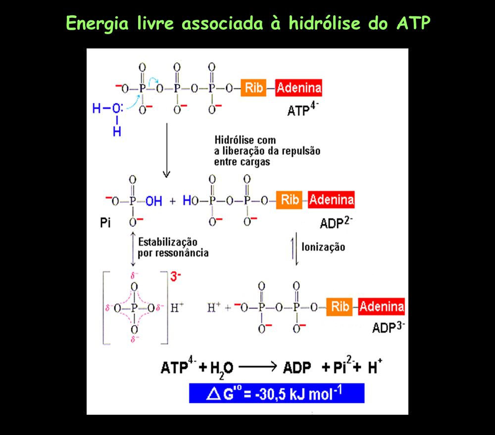 Energia livre associada à hidrólise do ATP