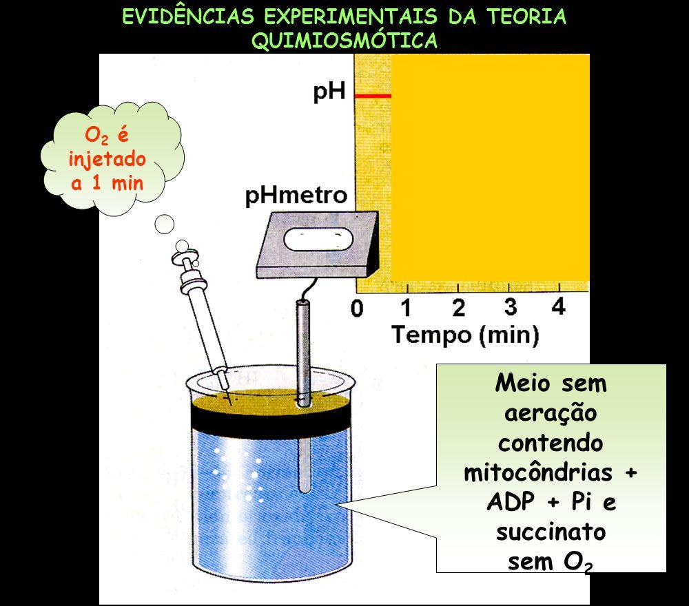 Meio sem aeração contendo mitocôndrias + ADP + Pi e succinato sem O2