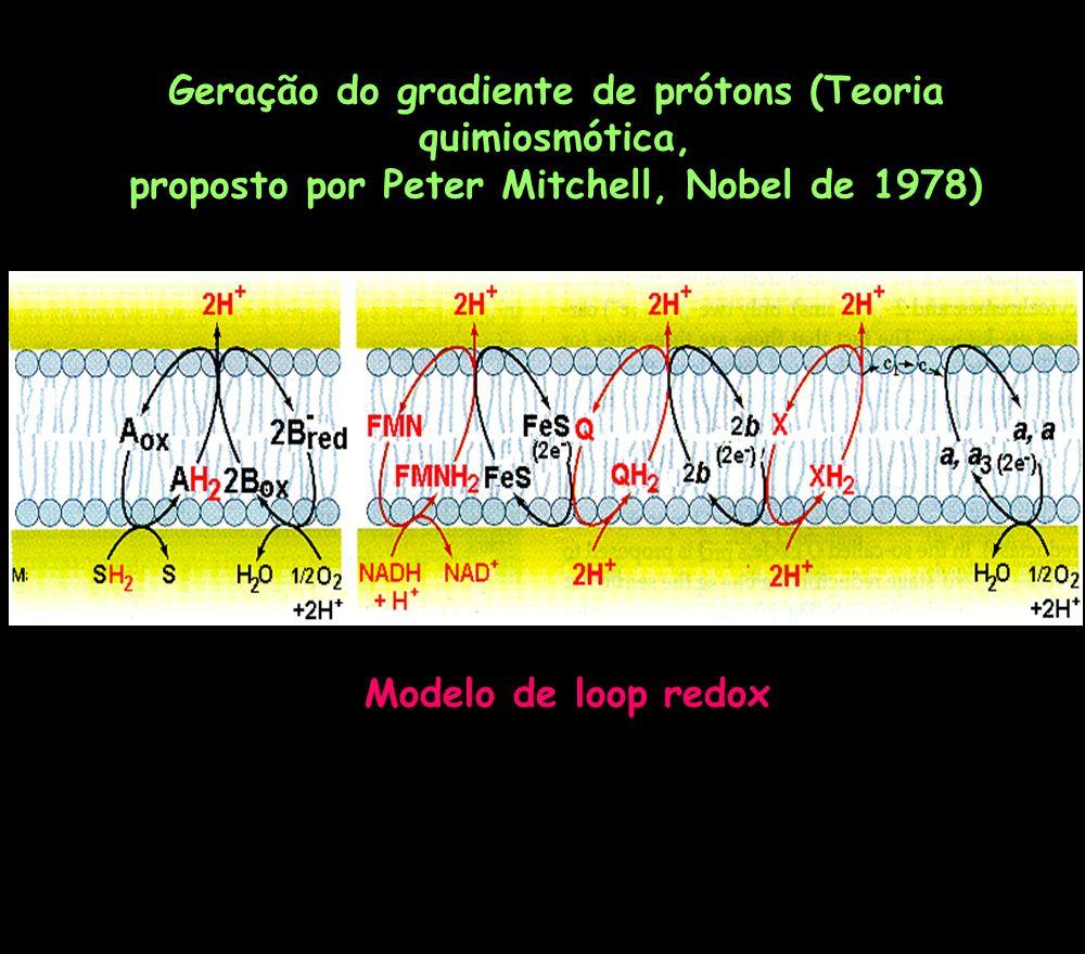 Geração do gradiente de prótons (Teoria quimiosmótica,