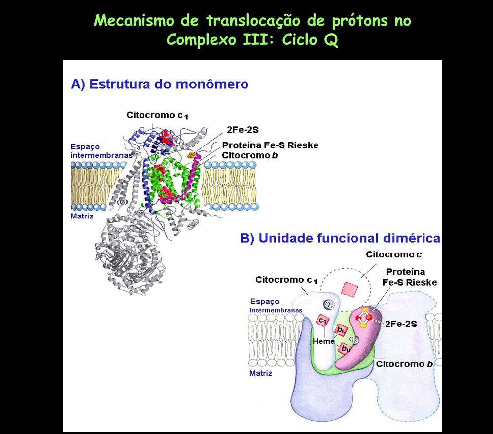 Mecanismo de translocação de prótons no