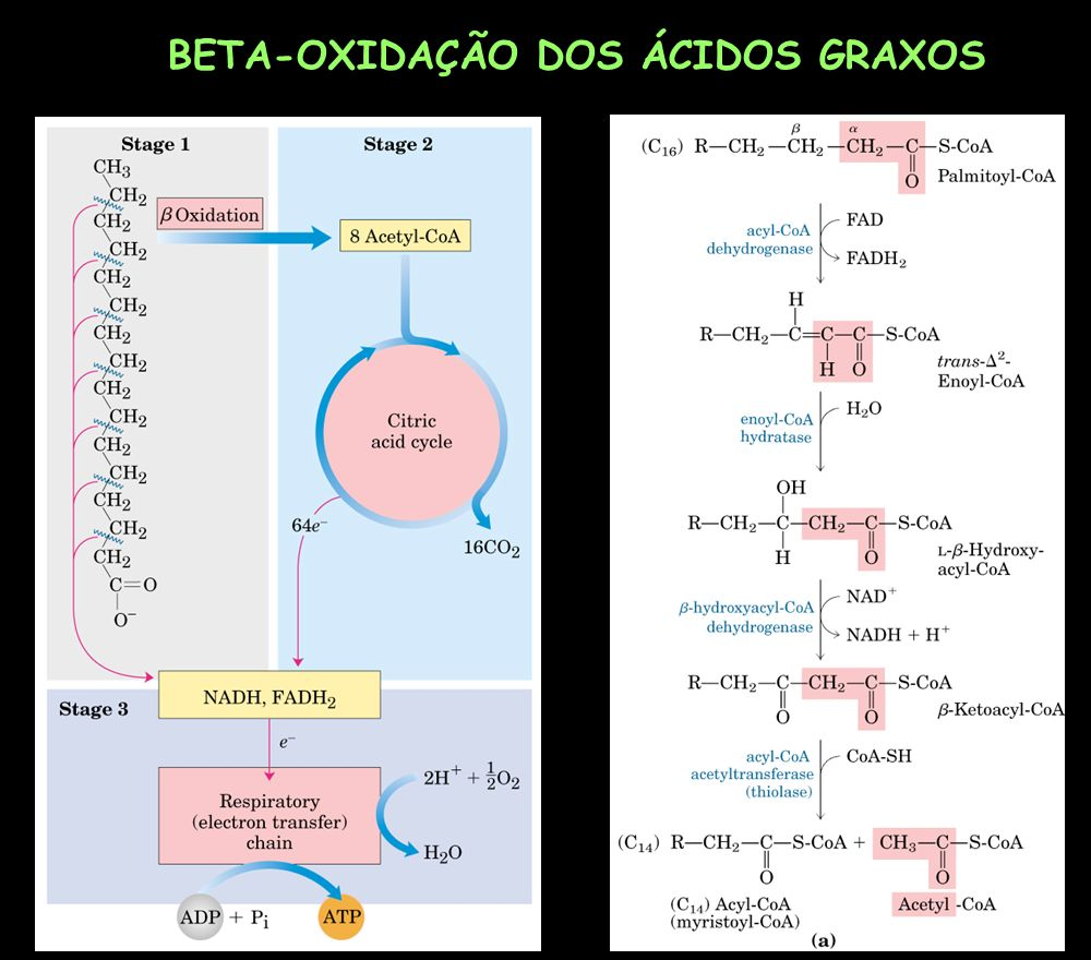 BETA-OXIDAÇÃO DOS ÁCIDOS GRAXOS
