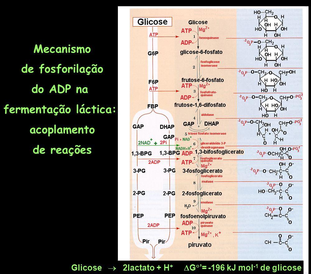 Mecanismo de fosforilação do ADP na fermentação láctica: acoplamento