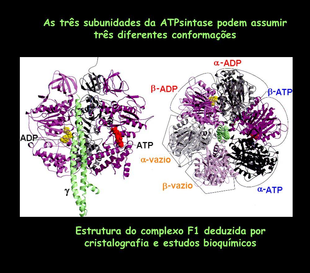 As três subunidades da ATPsintase podem assumir