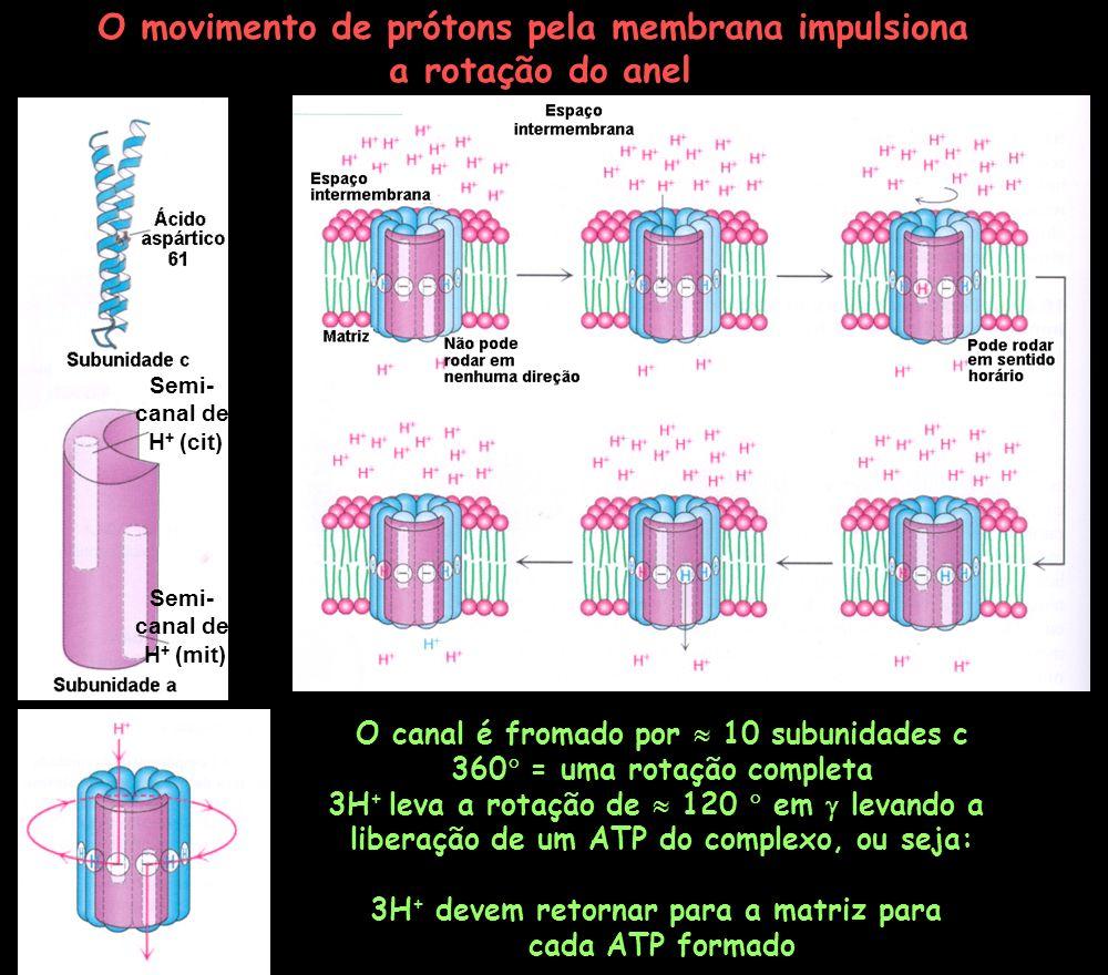 O movimento de prótons pela membrana impulsiona a rotação do anel