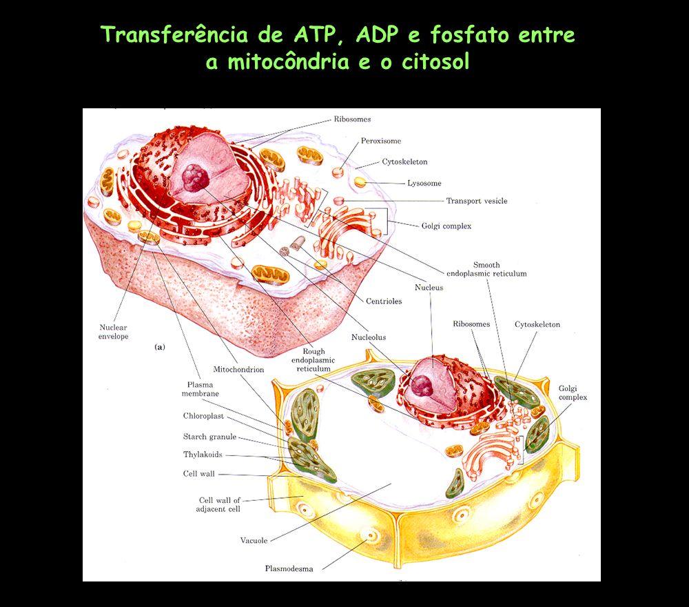 Transferência de ATP, ADP e fosfato entre a mitocôndria e o citosol
