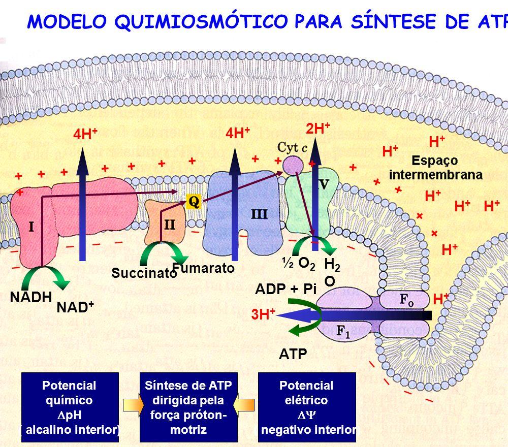 MODELO QUIMIOSMÓTICO PARA SÍNTESE DE ATP