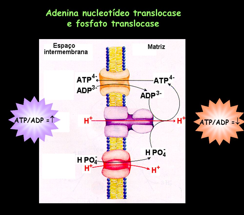 Adenina nucleotídeo translocase