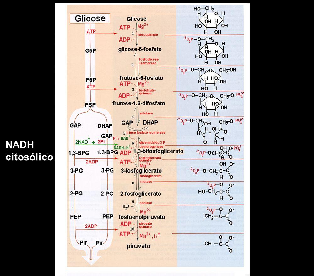 NADH citosólico