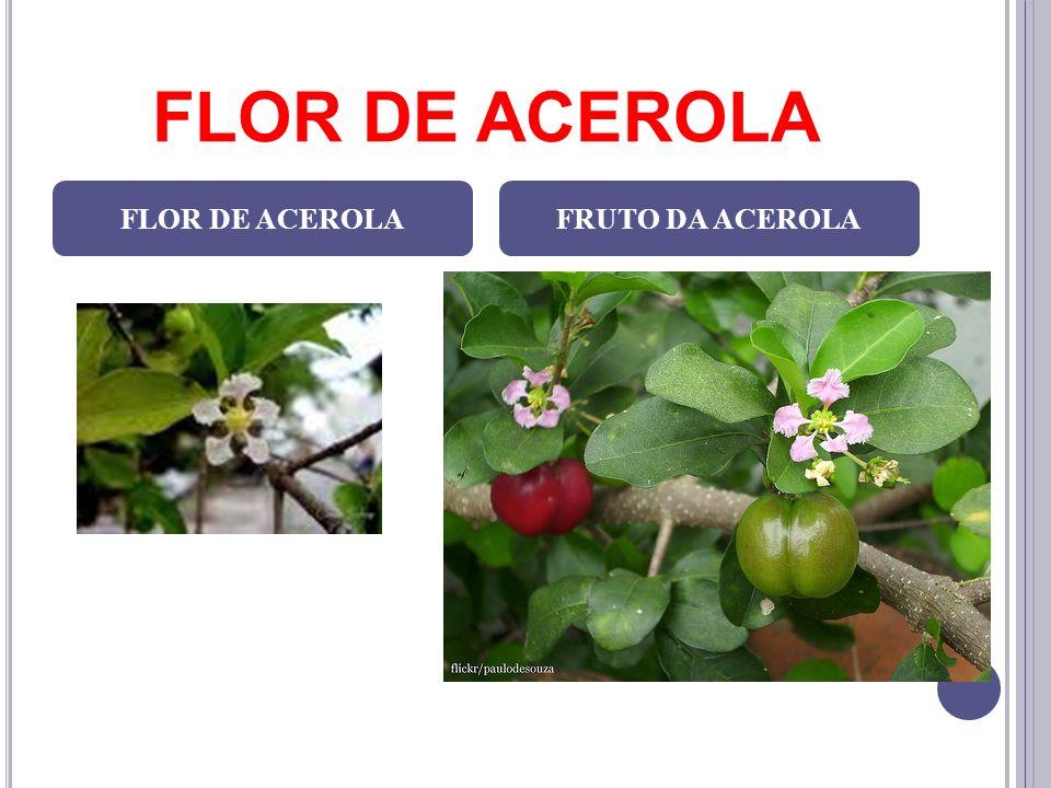 FLOR DE ACEROLA FLOR DE ACEROLA FRUTO DA ACEROLA