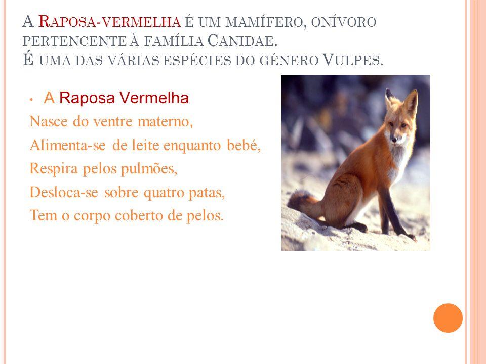 A Raposa-vermelha é um mamífero, onívoro pertencente à família Canidae