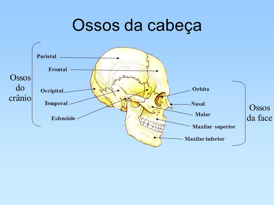 Ossos da cabeça Ossos do crânio Ossos da face Parietal Frontal