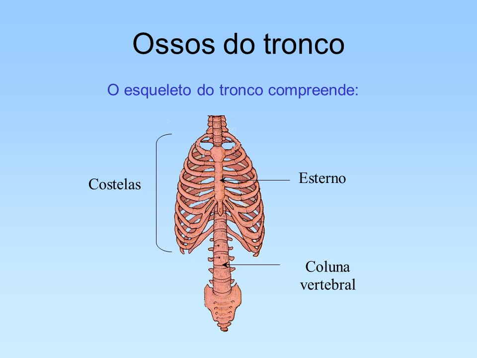 O esqueleto do tronco compreende: