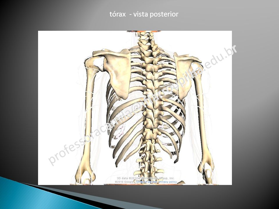 tórax - vista posterior
