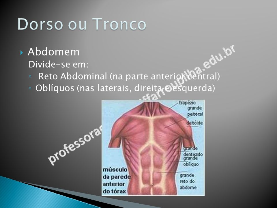 Dorso ou Tronco professoracamila@iffarroupilha.edu.br Abdomem