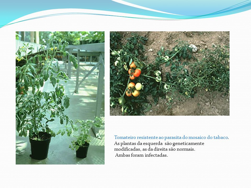 Tomateiro resistente ao parasita do mosaico do tabaco