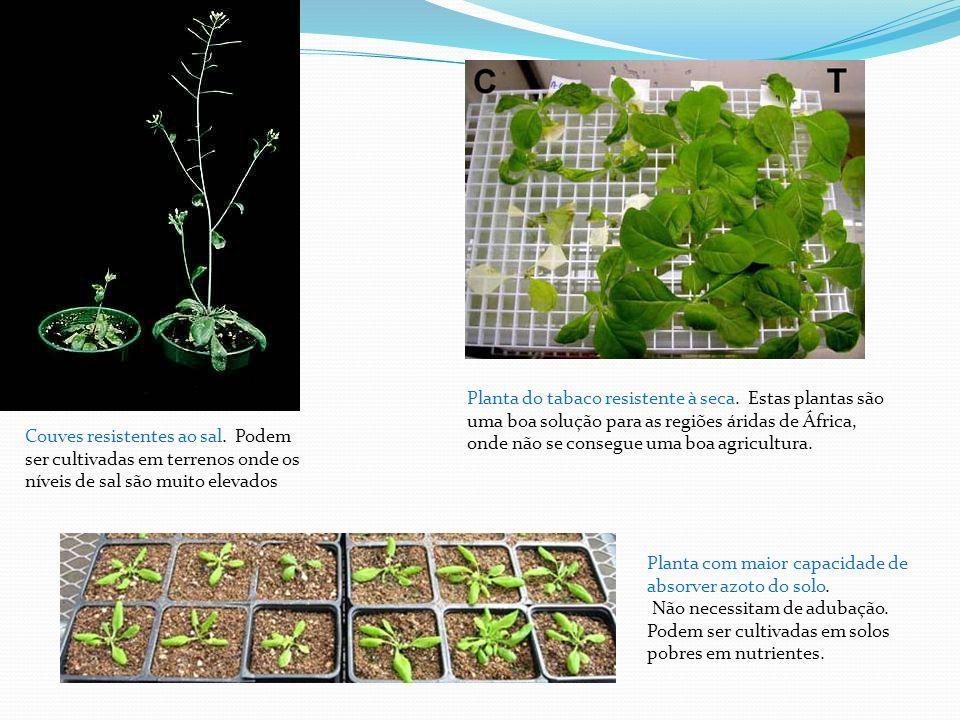 Planta do tabaco resistente à seca